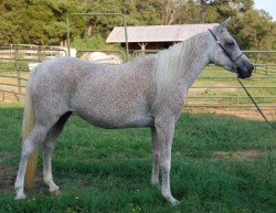 All World Acres Natural Arabians